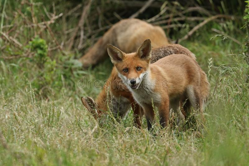 A cute wild Red Fox cub, Vulpes vulpes, standing in the long grass next to the vixen. royalty free stock photography