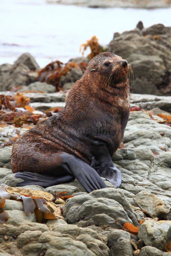 Cute wild seal royalty free stock photos