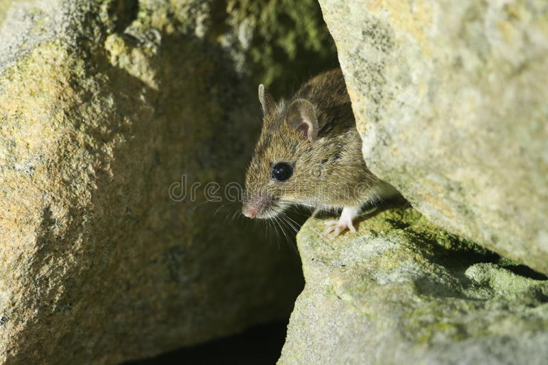 A cute wild Wood Mouse Apodemus sylvaticus poking its head out of its home in a stone wall. royalty free stock photography