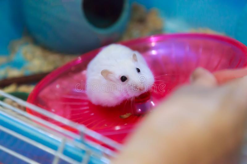 Cute Winter White Dwarf Hamster begging for pet food in owner hand with innocent face. Winter White Hamster is known as Winter Whi. Te Dwarf, Djungarian or stock image