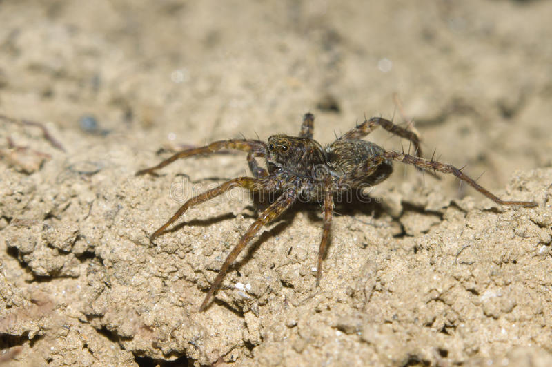 Download Cute Wolf spider stock image. Image of forest, garden - 23748401