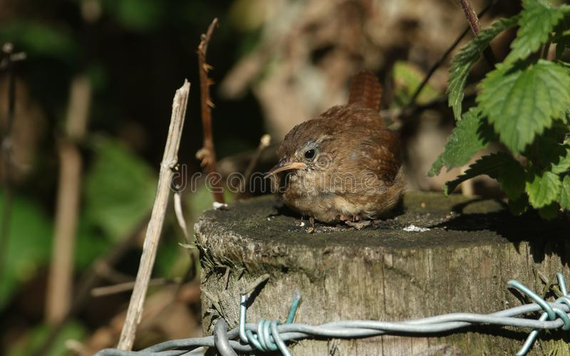 A pretty Wren Troglodytes troglodytes resting on a fence post at the edge of woodland. A cute Wren Troglodytes troglodytes resting on a fence post at the edge royalty free stock image