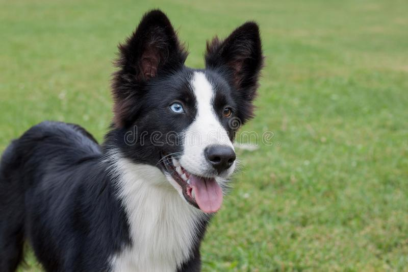 Cute yakutian laika puppy with different eyes. Pet animals. Purebred dog royalty free stock photography