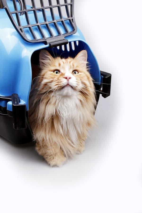 Cute yellow cat in transport box
