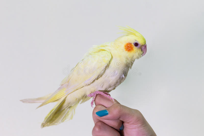 Cute yellow cockatiel bird on finger female. stock photography