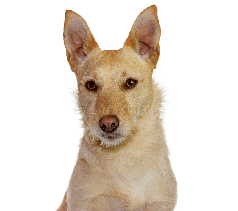 Cute yellow dog, Jack Russel Terrier royalty free stock photo