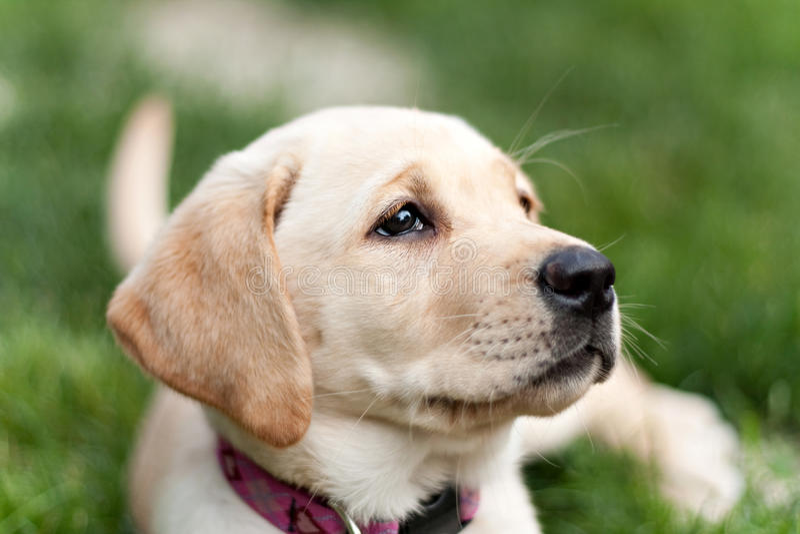 Cute Yellow Lab Puppy stock photo
