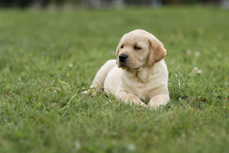 cute yellow puppy Labrador Retriever on background of green grass stock photo