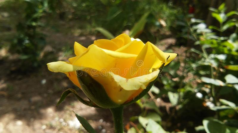 Cute Yellow Rose Flower royalty free stock images