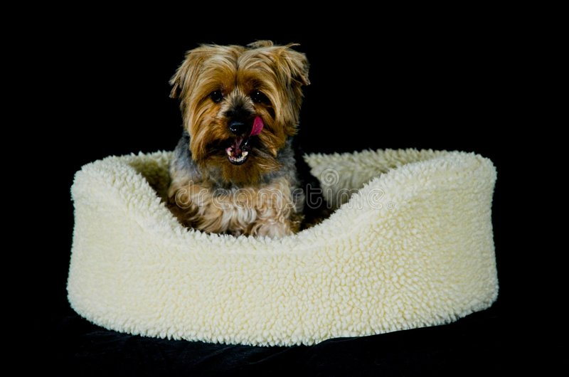 Cute Yorkie stock photos
