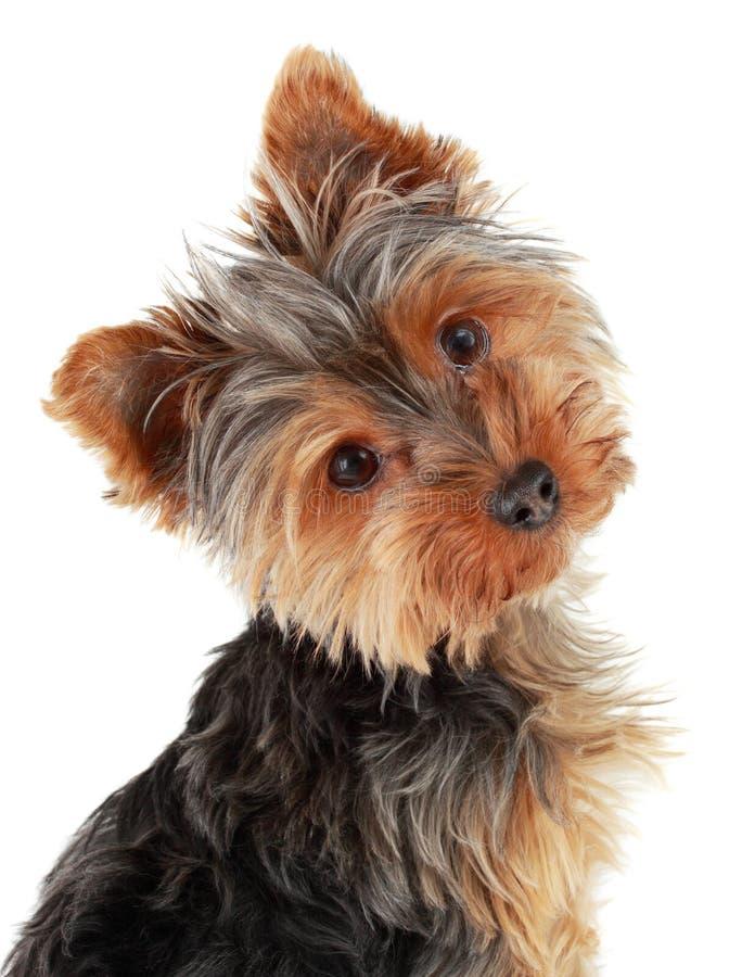 Cute Yorkie puppy stock photos