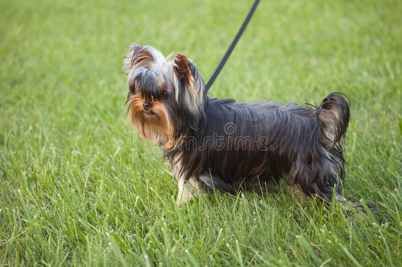 Cute yorkie puppy in the grass stock photography