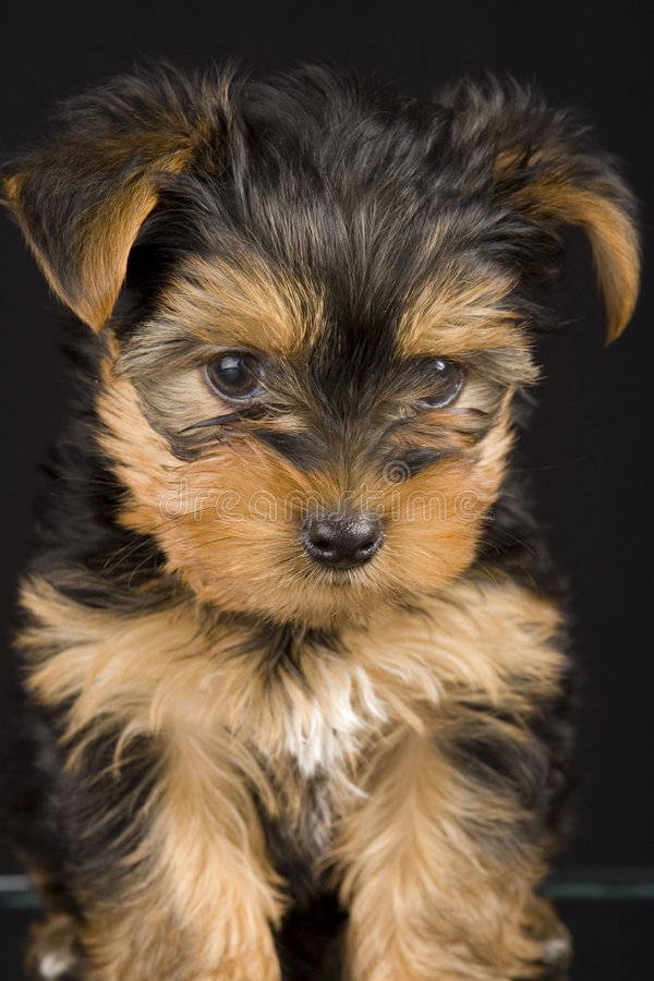 Download Cute Yorkshire Terrier stock image. Image of cute, pose - 1700149