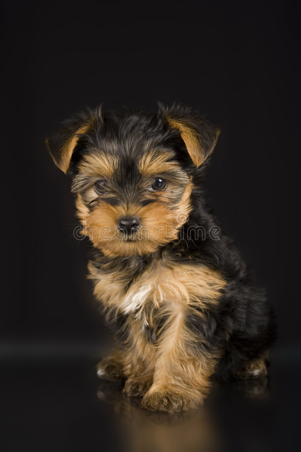 Download Cute Yorkshire Terrier stock image. Image of young, pose - 1700179
