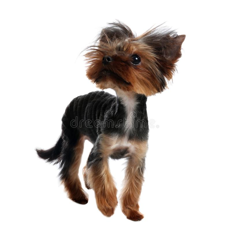 Cute Yorkshire terrier dog on background. Cute Yorkshire terrier dog on white background stock photography