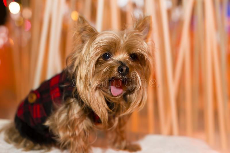 Cute Yorkshire Terrier dog in black and red coat sitting outdoors yawning profoundl. Y with soft golden red lights in the background stock images