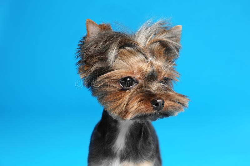 Cute Yorkshire terrier dog on blue background. Cute Yorkshire terrier dog on light blue background stock photography