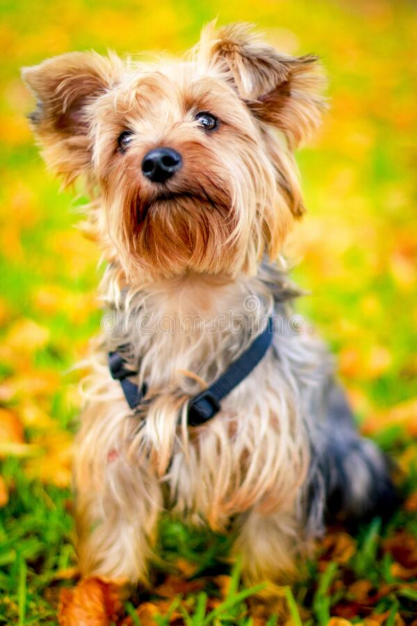 Cute Yorkshire Terrier Dog Free Public Domain Cc0 Image