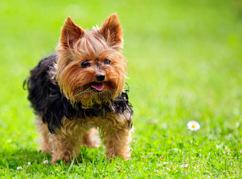 Cute Yorkshire Terrier Dog Playing in the Yard. A cute yorkshire terrier dog with an open mouth and tongue sticking out playing in the yard on green grass royalty free stock photography
