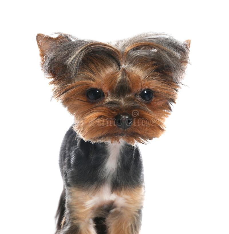 Cute Yorkshire terrier dog on background. Cute Yorkshire terrier dog on white background stock image