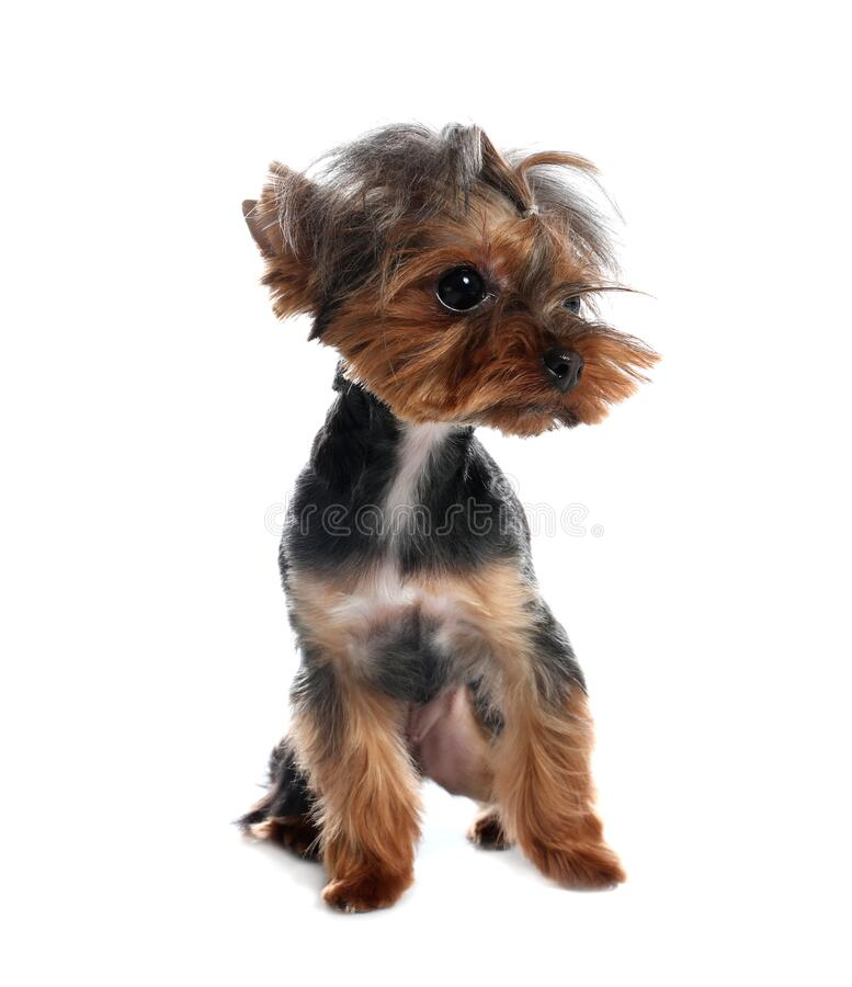 Cute Yorkshire terrier dog on background. Cute Yorkshire terrier dog on white background royalty free stock photo