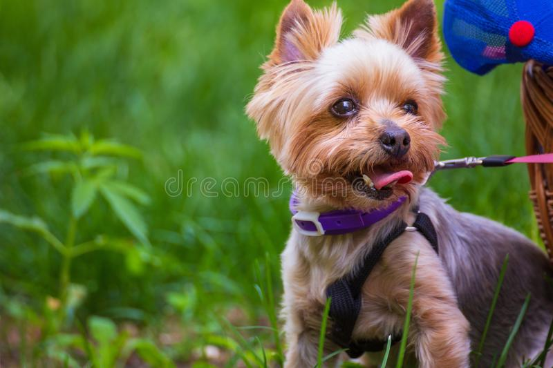 Cute yorkshire terrier on the grass. Cute Yorkshire terrier walks on the collar with the owner on the grass on a summer sunny day stock photos