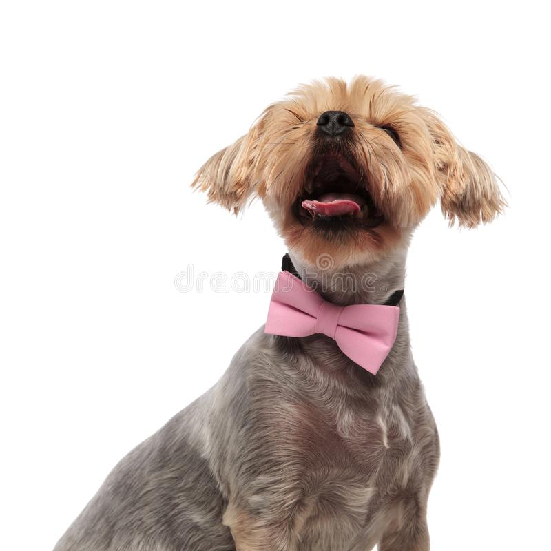 Cute Yorkie Dog Looking Up Stock Photos