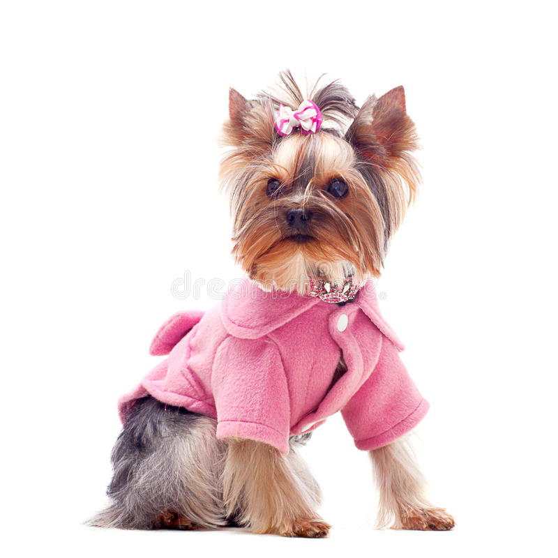 Cute yorkshire terrier in pink coat royalty free stock photography