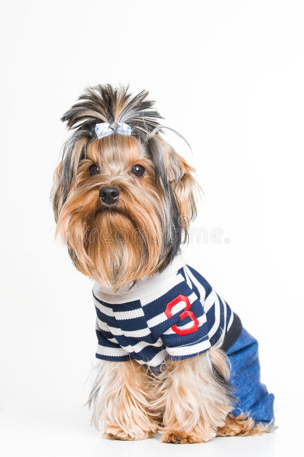 Download Cute Yorkshire Terrier In Pullover Stock Image - Image: 12952989