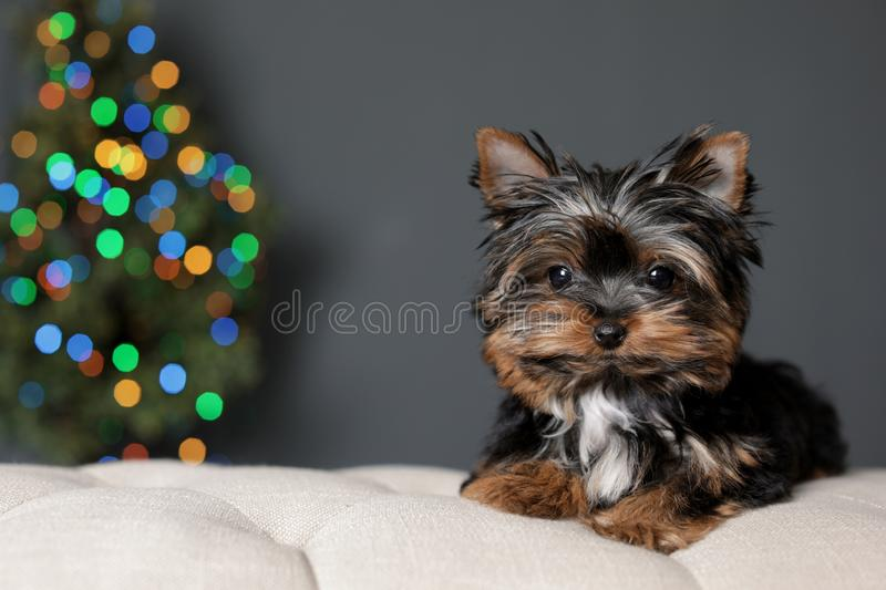 Cute Yorkshire terrier puppy and blurred Christmas tree on background, space for text. Happy dog stock images