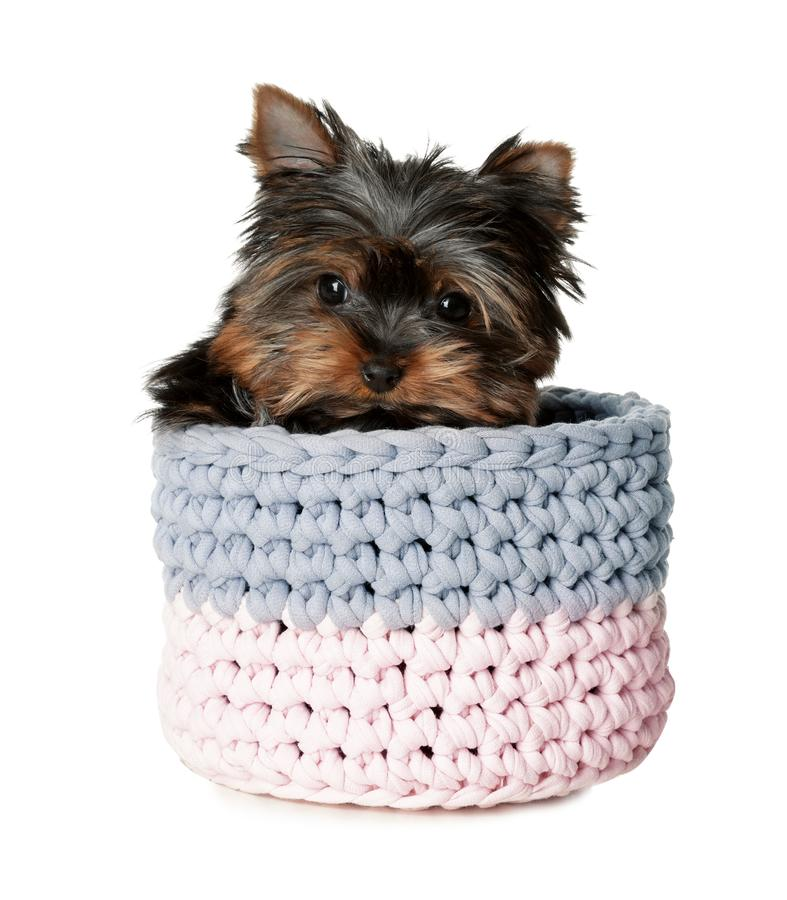 Cute Yorkshire terrier puppy in knitted basket on white background. Happy dog stock images