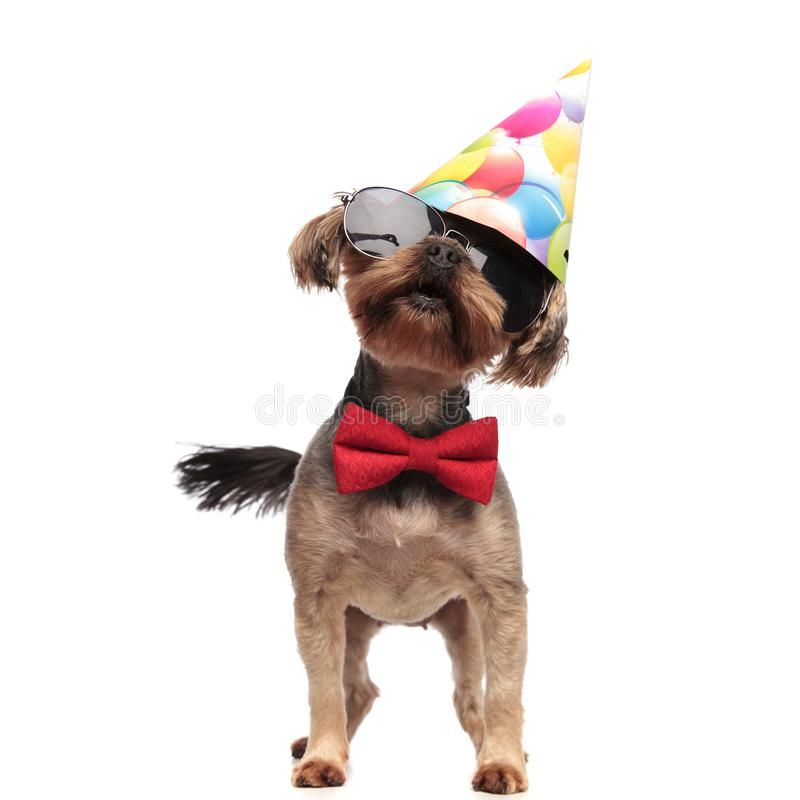 Cute yorkshire terrier wearing birthday hat and red bowtie. Cute yorkshire terrier wearing birthday hat, sunglasses and red bowtie, standing isolated on white royalty free stock images
