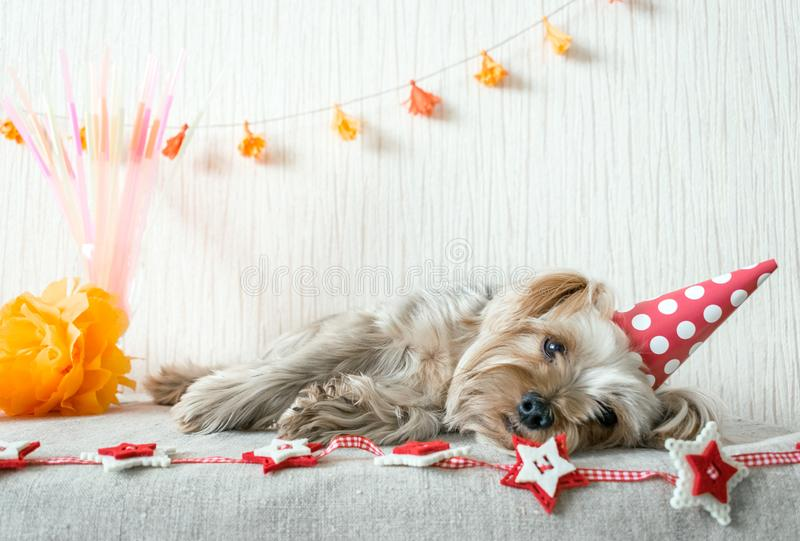 Cute Yorkshire Terrier (Yorkie) Dog in red party hat cap lies on stock image
