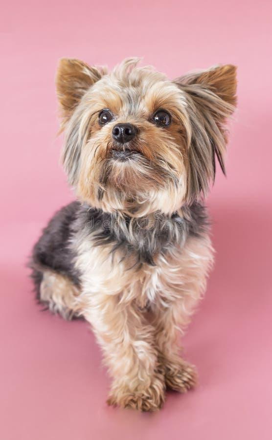Cute yorkshire terrier, yorkie sentado olhando para a câmera em um fundo rosa fotos de stock