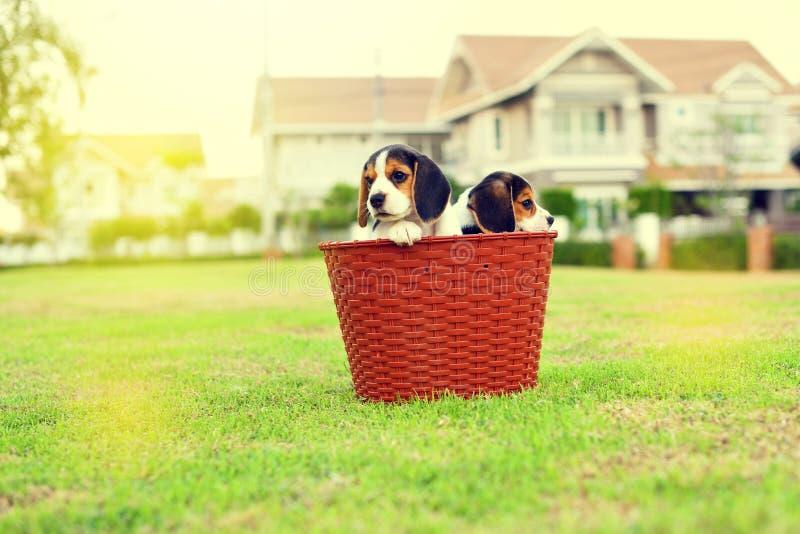 Cute young Beagles. In garden stock photos