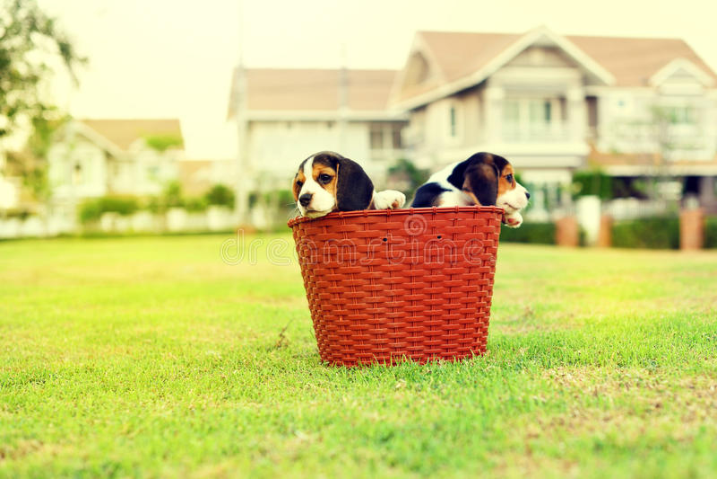 Cute young Beagles. In garden stock photography