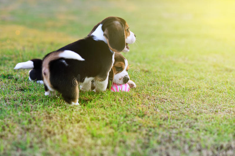 Cute young Beagles. Playing in garden royalty free stock images