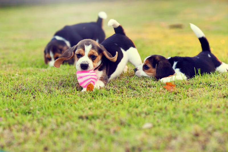 Cute young Beagles. Playing together in garden royalty free stock photo