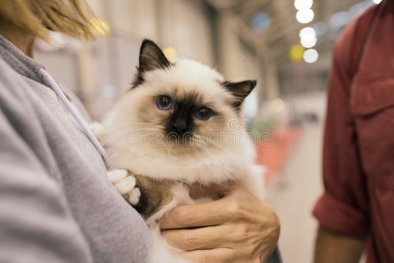 Cute Birman Cat. Cute young birman cat in the arms of a woman royalty free stock images