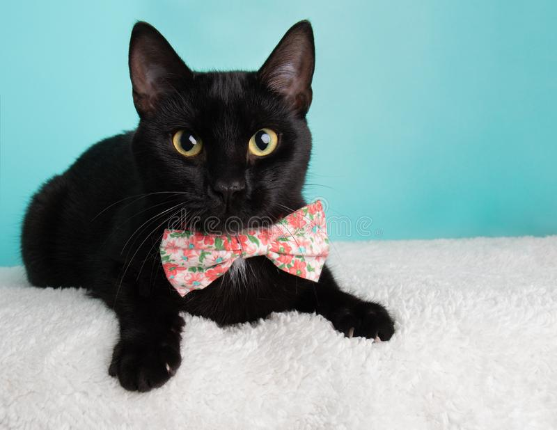 Cute Young Black Cat Wearing Pink and White Flowers Bow Tie Costume Portrait Lying Down Looking Right stock image
