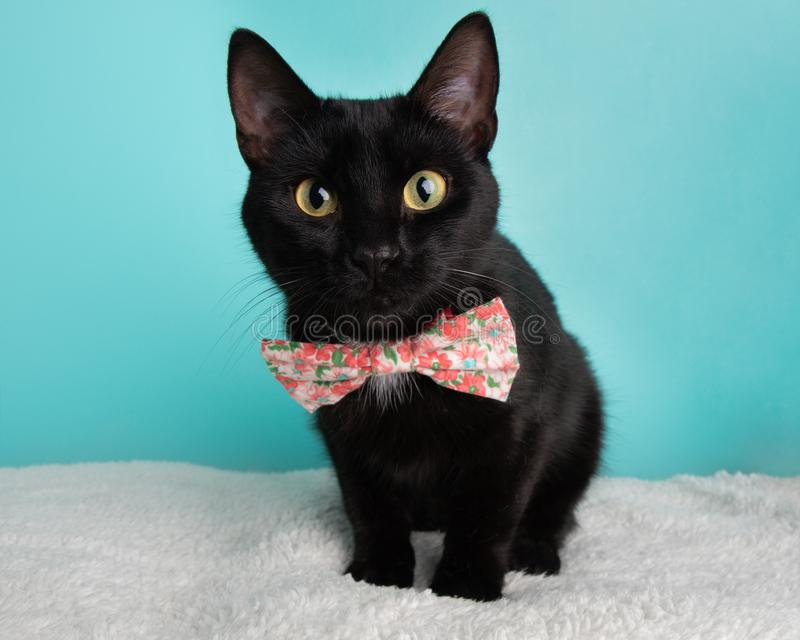 Cute Young Black Cat Wearing Pink and White Flowers Bow Tie Costume Portrait Sitting stock photos