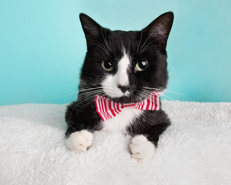 Cute Young Black and White Cat Wearing Red and White Striped Bow Tie Costume Portrait Lying Down stock photo