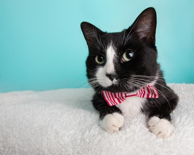 Cute Young Black and White Cat Wearing Red and White Striped Bow Tie Costume Portrait Lying Down Looking Left stock photos