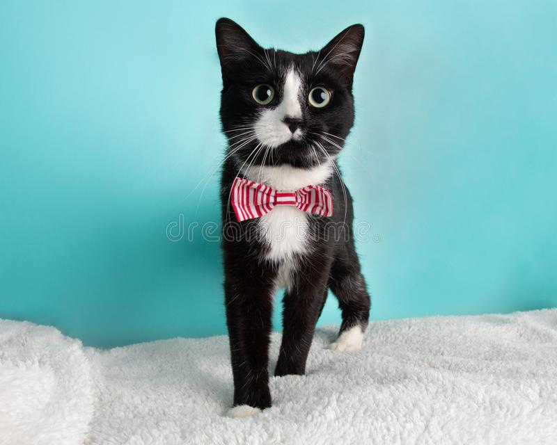 Cute Young Black and White Cat Wearing Red and White Striped Bow Tie Costume Portrait Standing Looking to Right stock photography