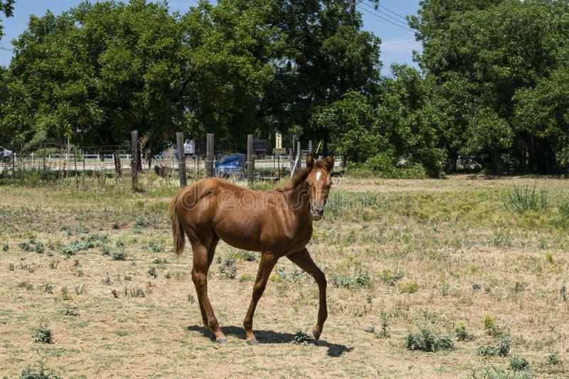 Cute young colt horse prancing in pasture royalty free stock photo