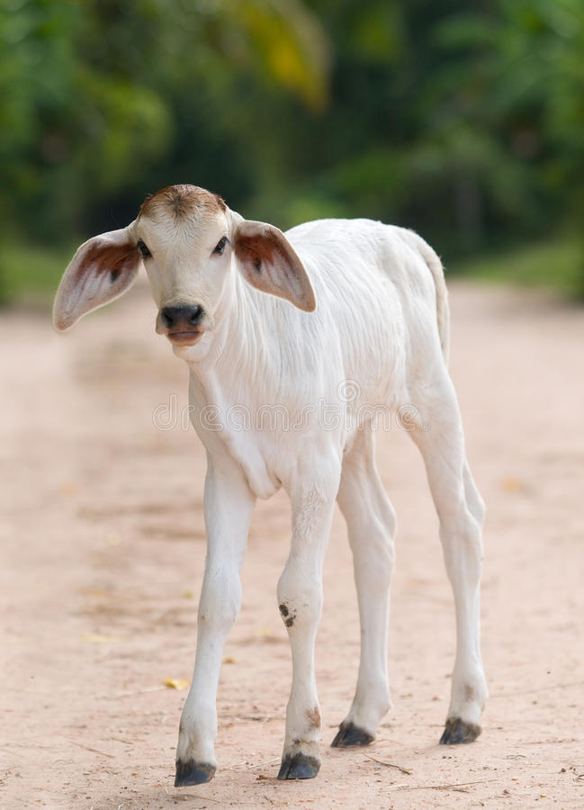 Free Cute, Young Calf With Big Ears Stock Photos - 16682113