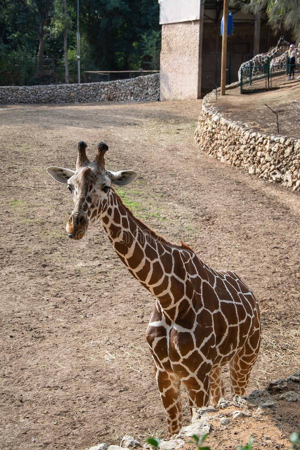 Cute young curious giraffe in his aviary royalty free stock photography