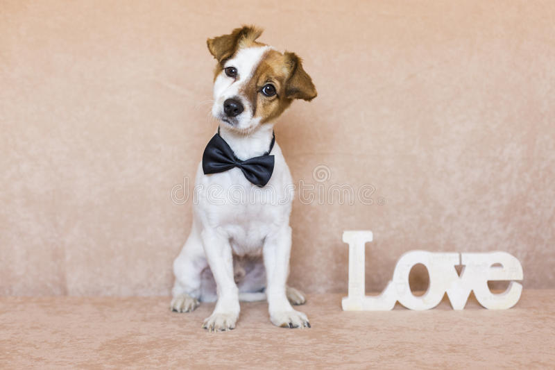 Cute young dog over brown background wearing a bowtie. LOVE word. Besides him. Pets indoors royalty free stock photo