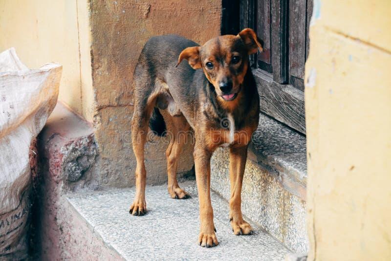 A cute dog posses in Trinidad, Cuba. A cute young dog posses in front of a building in Trinidad, Cuba royalty free stock image