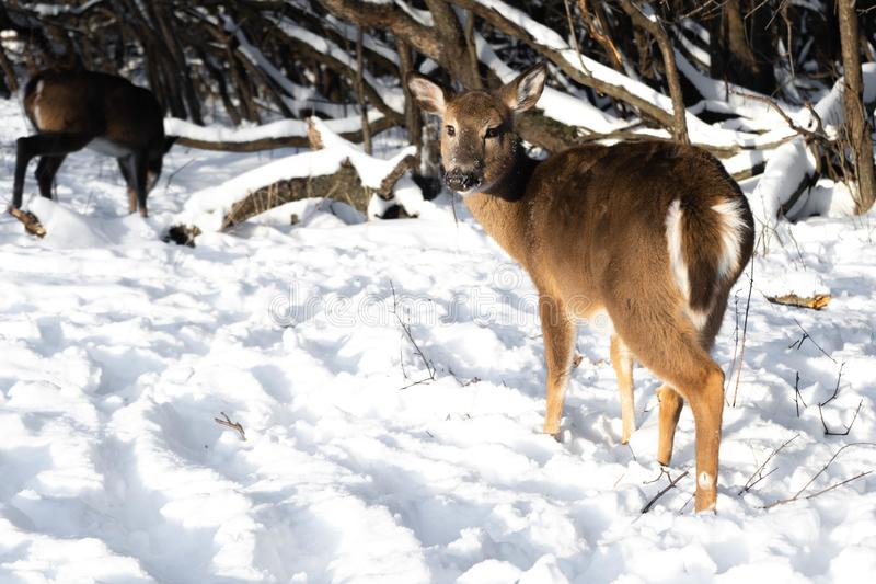 Cute young fluffy deer walks in the snowy forest closeup stock images